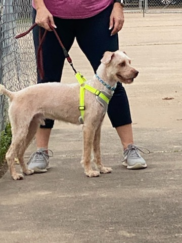 Story, an adopted Poodle Mix in Houston, TX