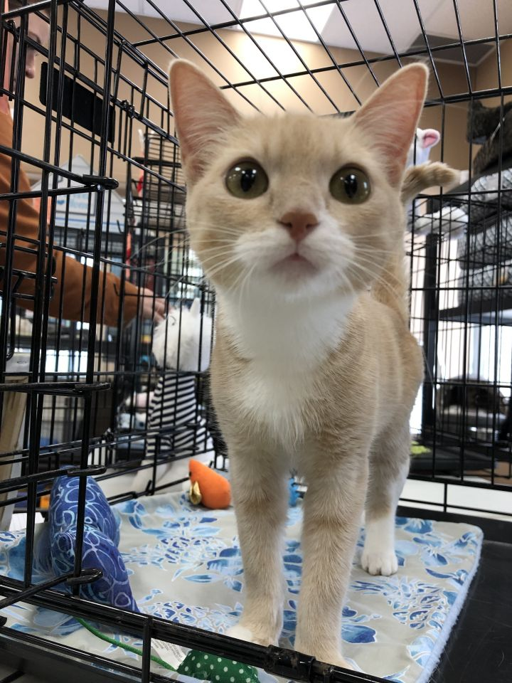 Fiona, an adopted Domestic Short Hair in Kenora, ON