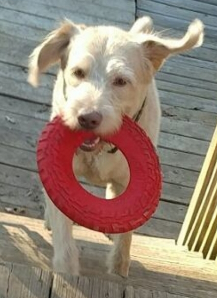 RJ, an adopted Labrador Retriever & Poodle Mix in Bristol, WI