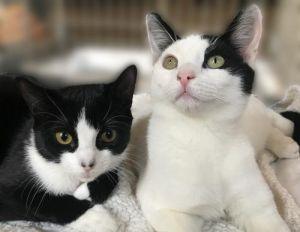 Bonny: Lap Kitten in Black and White