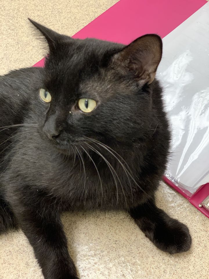 Helmut, an adoptable Domestic Short Hair in Naperville, IL