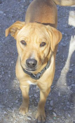 Brittney, an adopted Labrador Retriever Mix in Flagstaff, AZ