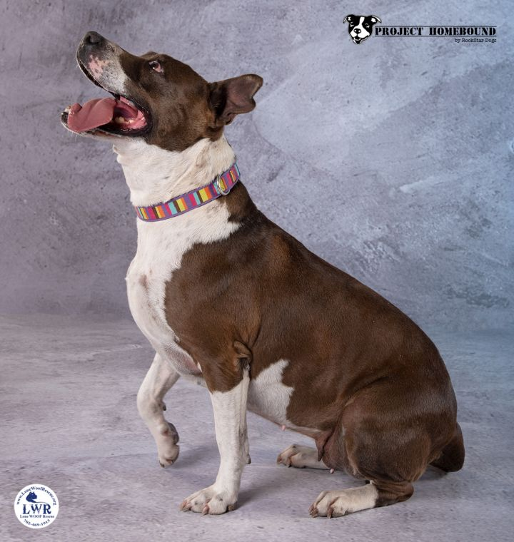 Izzy, an adoptable Bull Terrier Mix in Jean, NV