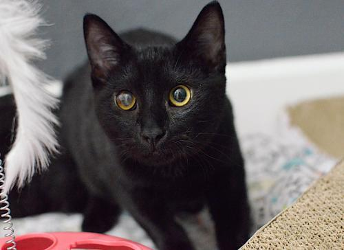 Domingo, an adoptable Domestic Short Hair & Manx Mix in Springfield, OR
