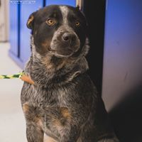 Max, an adoptable Australian Cattle Dog / Blue Heeler Mix in Kennewick, WA