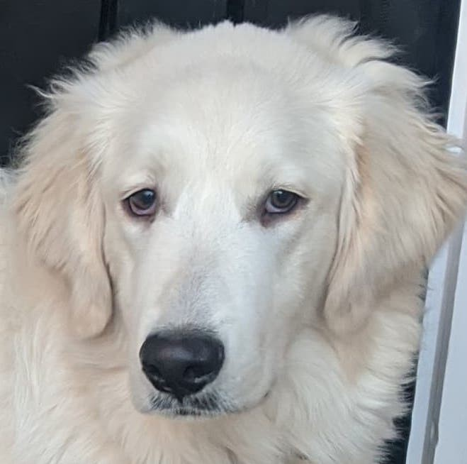 Murphy, an adopted Great Pyrenees & Australian Shepherd Mix in South Windsor, CT