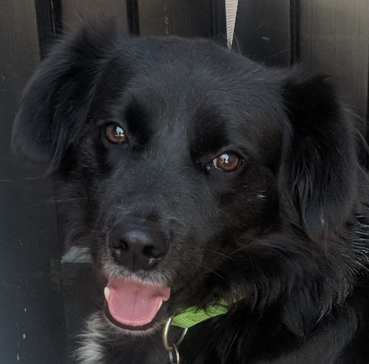 Titan, an adopted Border Collie & Flat-Coated Retriever Mix in South Windsor, CT