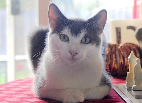 Sage, an adoptable Domestic Short Hair Mix in Springfield, OR