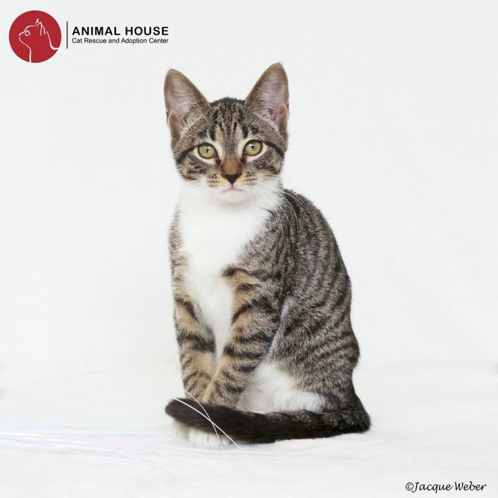Delta, an adopted Domestic Short Hair in St. Louis, MO