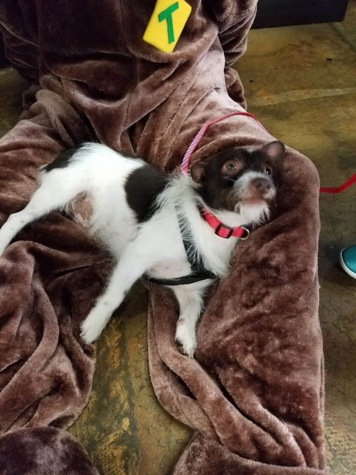 Abe, an adoptable Terrier & Chihuahua Mix in Waxhaw, NC