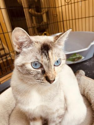MJ is a gorgeous Lynx Point Siamese She was rescued with her seven kittens when they were just 3 da