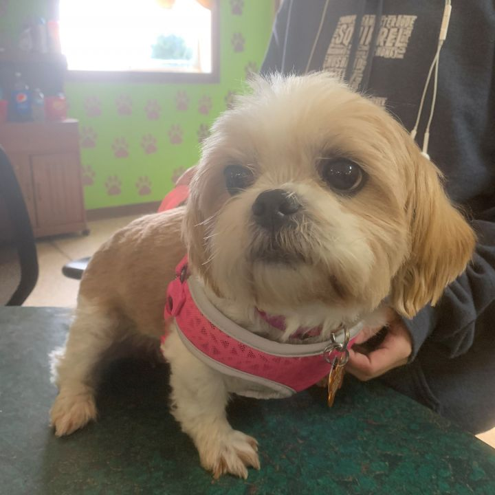 Sassy, an adopted Shih Tzu in Bloomington, IL