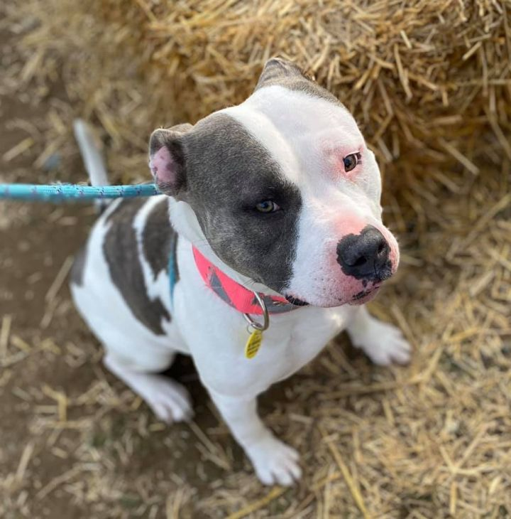 Scarlet, an adopted Terrier & Pit Bull Terrier Mix in Cleveland, OH