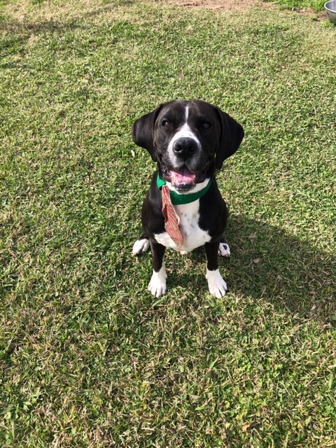Shakespeare, an adoptable Boxer & Great Dane Mix in Carencro, LA