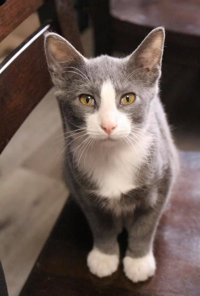 Larry, an adopted Domestic Short Hair Mix in Springfield, MO