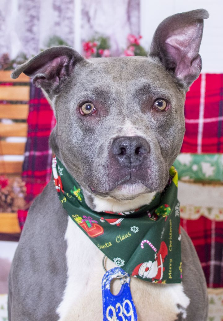 Zeus (ID 24696/3368), an adopted Pit Bull Terrier Mix in Manassas, VA