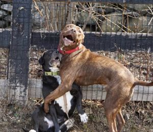 Rockford -  Sweet, smart sensitive and quirky boy Boxer Dog