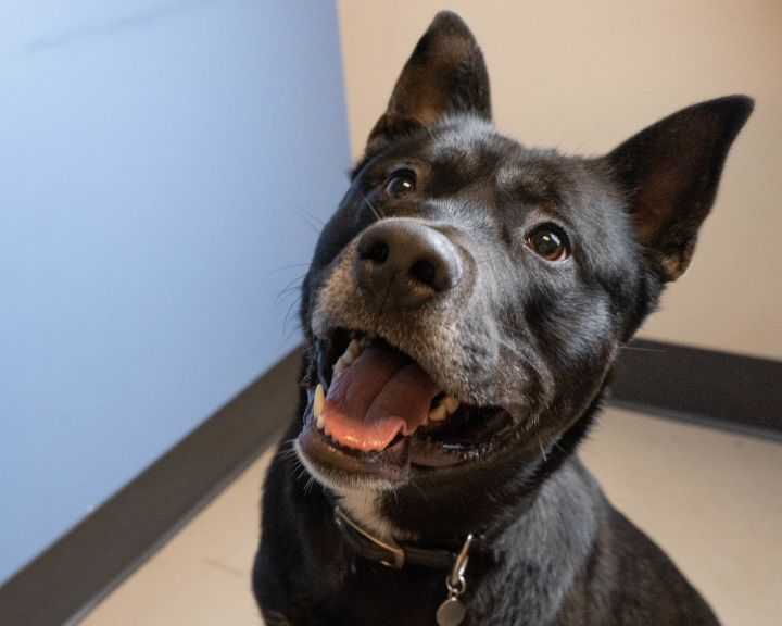Luru, an adoptable Siberian Husky & Pit Bull Terrier Mix in Bellingham, WA