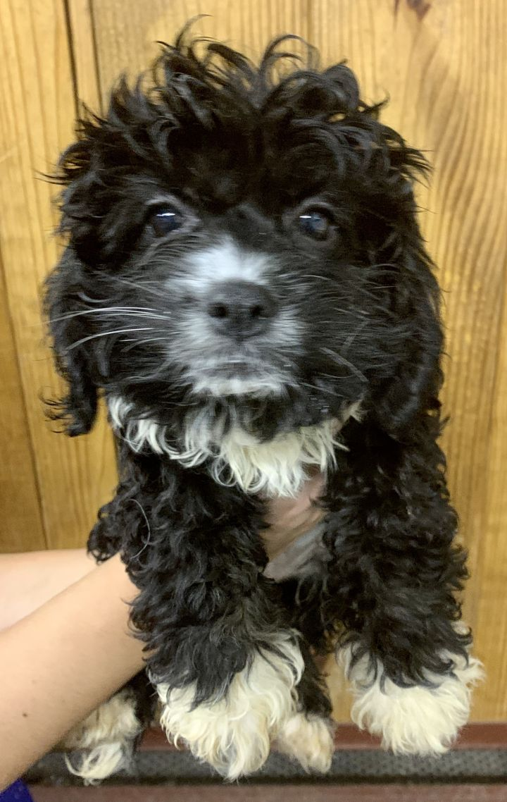 Dog For Adoption Red Rum Sally Mini Bernesepoodle In