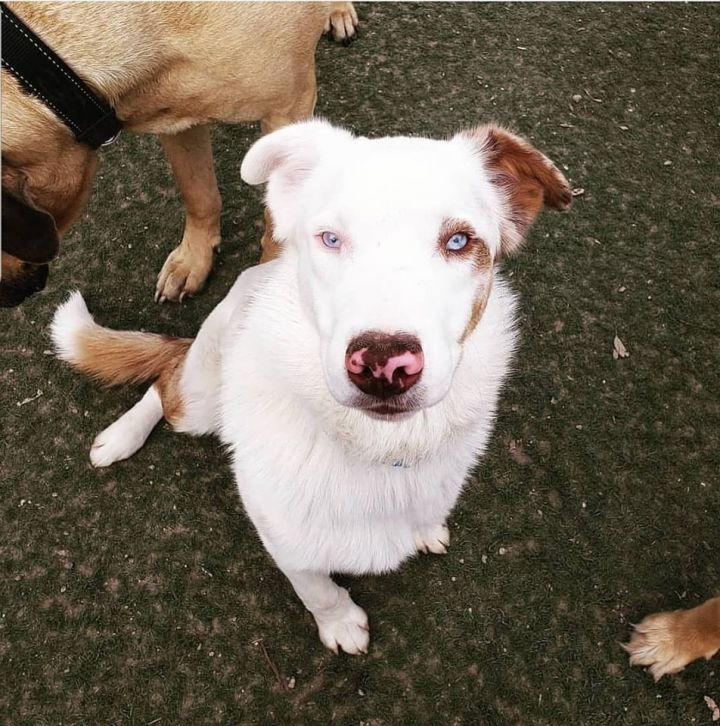 River, an adoptable Border Collie in Bakersfield , CA