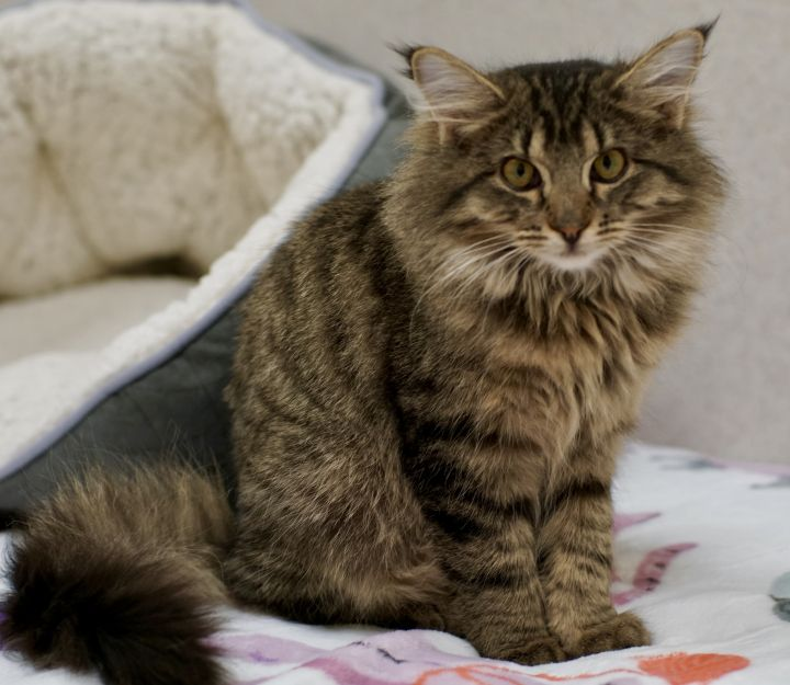 Gabor, an adopted Domestic Long Hair in Naperville, IL