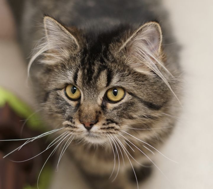 Gabby, an adopted Domestic Long Hair in Naperville, IL