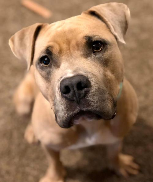 Jade, an adoptable Pit Bull Terrier in Dallas, GA