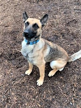 Annie, an adopted Belgian Shepherd / Malinois in Dillsburg, PA