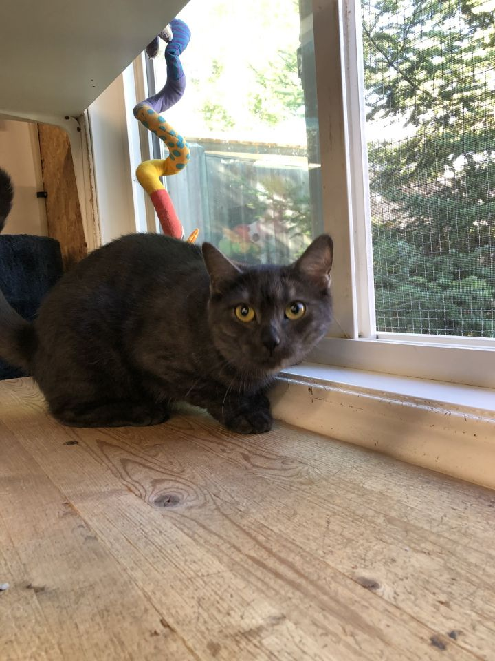 Aretha, an adopted Domestic Short Hair in Kenora, ON