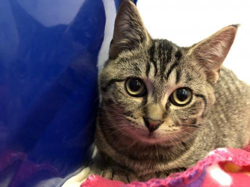 Poe, an adoptable Tabby & Domestic Short Hair Mix in Monroe, MI
