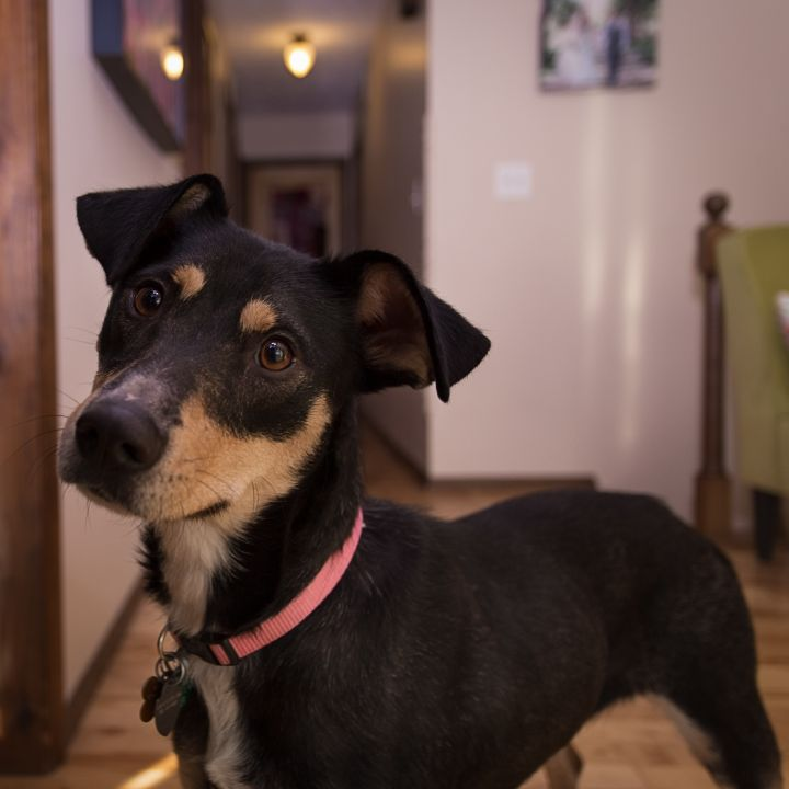 Raven, an adopted Shepherd Mix in Bloomington, IL