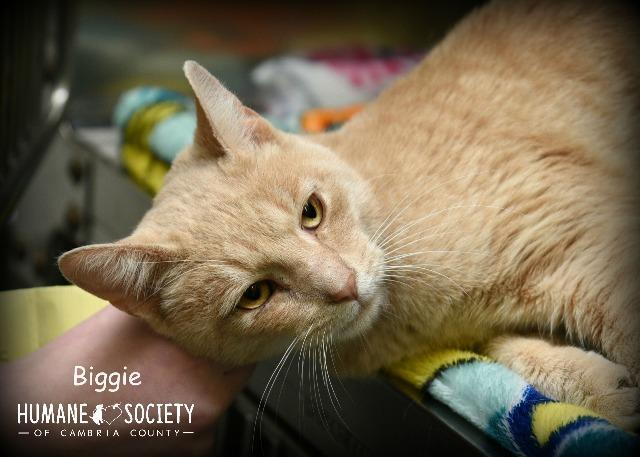 Biggie, an adoptable Domestic Short Hair in Johnstown, PA