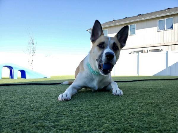 Monty, an adoptable Cattle Dog & Husky Mix in Albany, OR