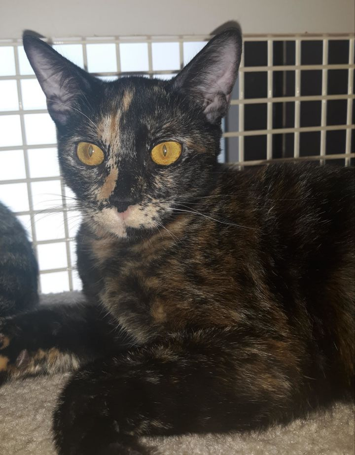 Goldie, an adopted Tortoiseshell & Domestic Short Hair Mix in Palo Cedro, CA