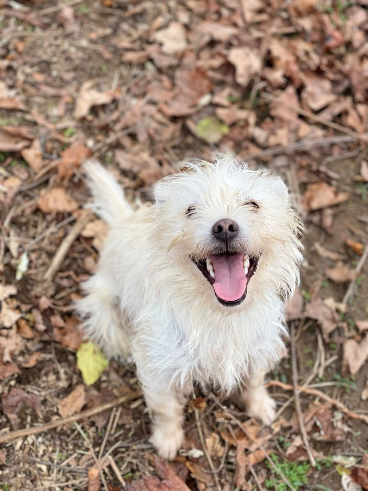 Henri, an adopted West Highland White Terrier / Westie Mix in Albany, NY