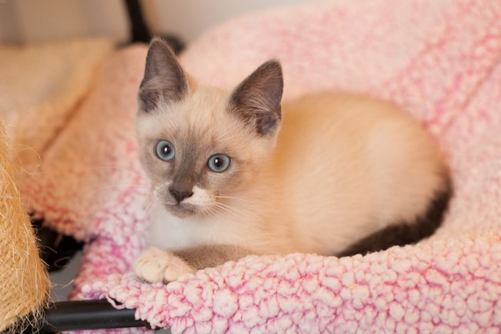 Morchello, an adopted Siamese & Snowshoe Mix in Ponte Vedra, FL