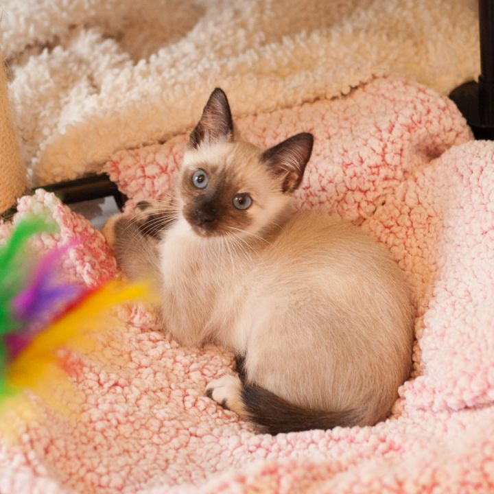 Porcini, an adopted Siamese & Tortoiseshell Mix in Ponte Vedra, FL