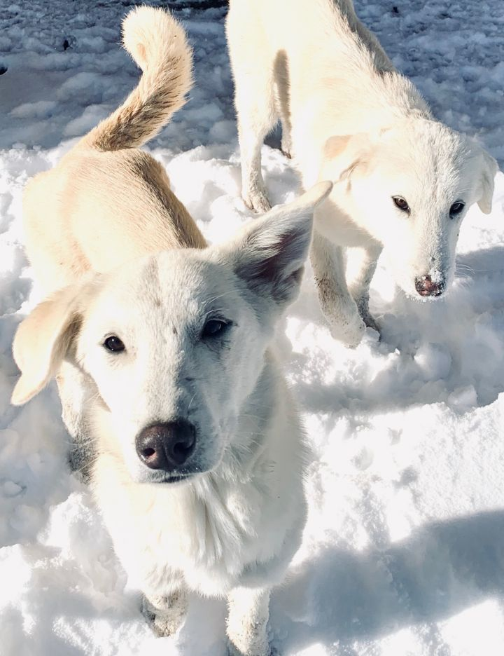 Ochoa, an adopted Pyrenean Shepherd & White German Shepherd Mix in Ennis, MT