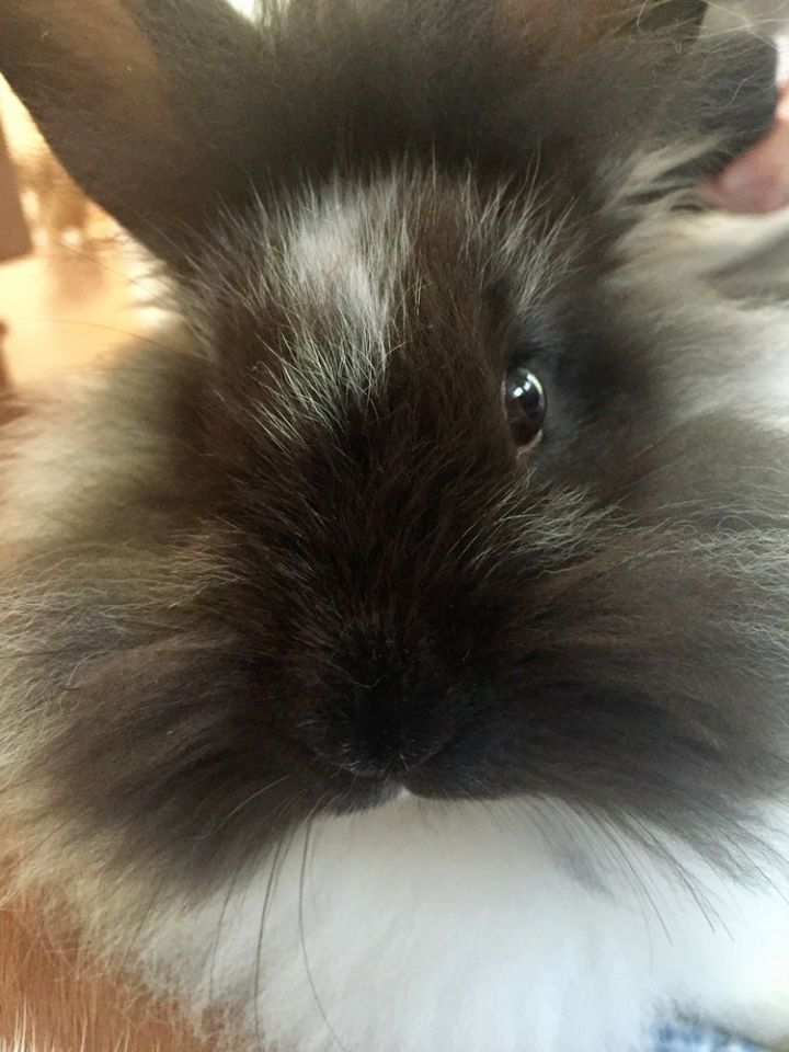 Rabbit For Adoption Clover A Flemish Giant Lionhead Mix