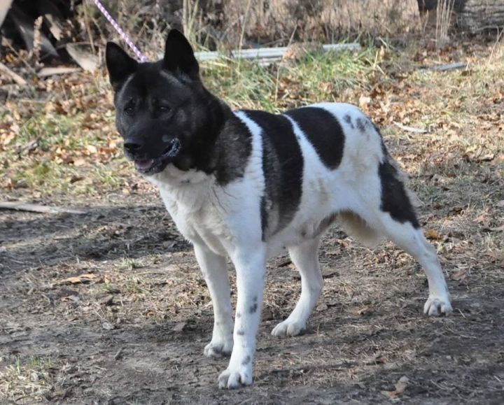 Neka, an adoptable Akita in Toms River, NJ