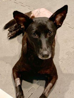 Noelia Labrador Retriever Dog