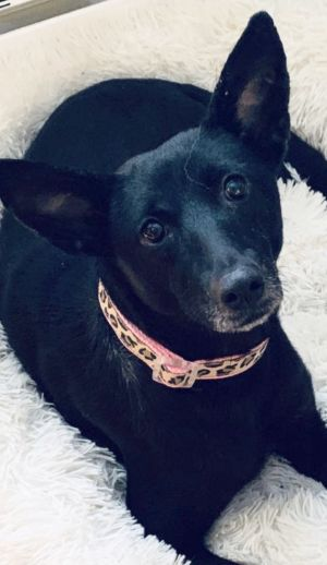 Noelia is a 3 year old 25 lb terrier lab mix She was found on the border of Tx