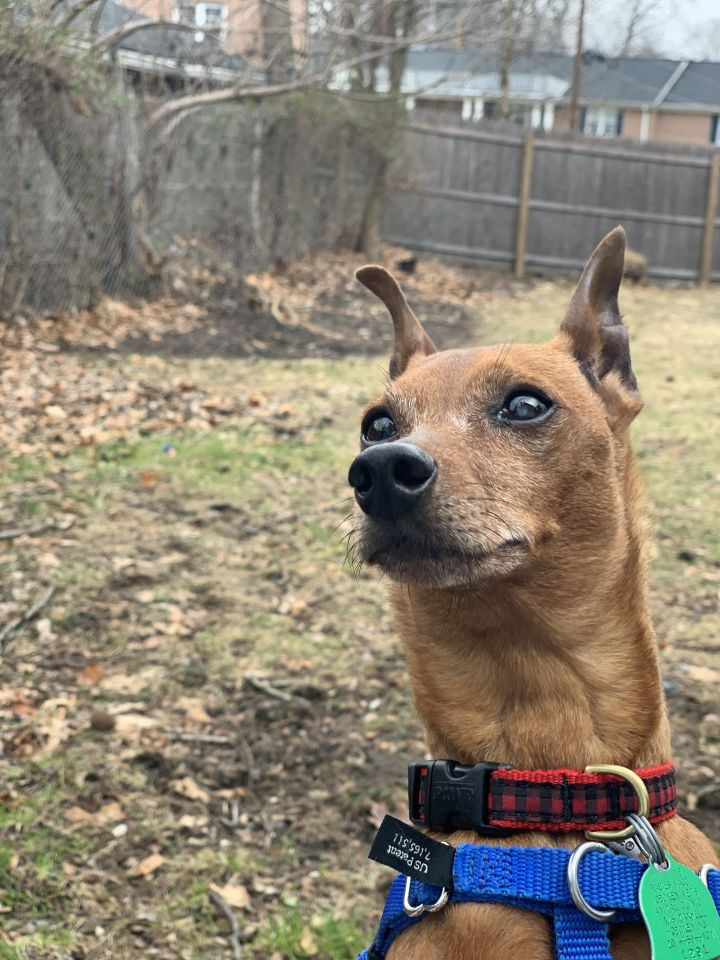 Charlie, an adoptable Miniature Pinscher in Parsippany, NJ