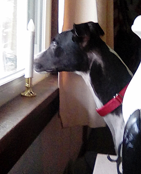 THEO, an adopted Greyhound in Altoona, PA