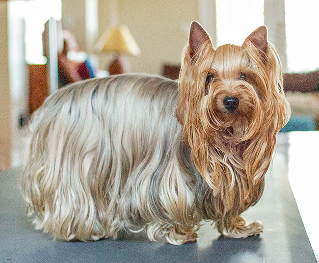 Phoebe, an adoptable Yorkshire Terrier in Austin, TX