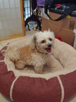 Four year old loving playful happy dog Leash trained Full of love and joy to give to a loving fami