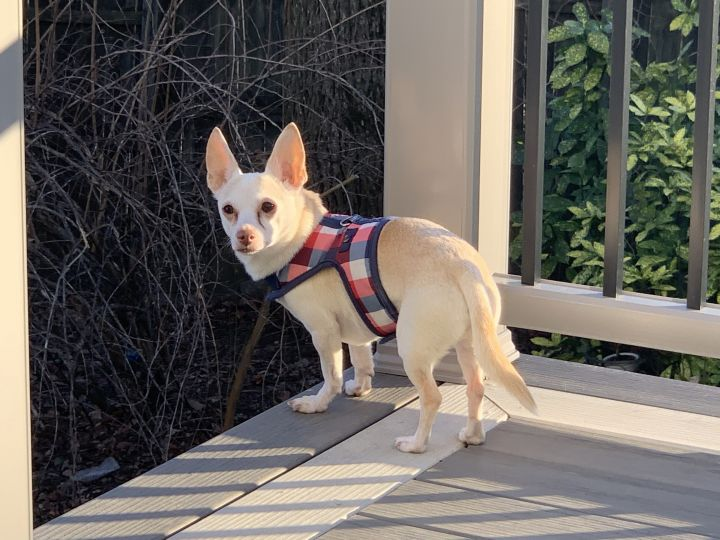 Maxie, an adoptable Chihuahua in Parsippany, NJ