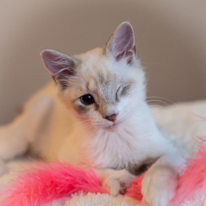 Cinders, an adopted Siamese & Domestic Medium Hair Mix in Ponte Vedra, FL