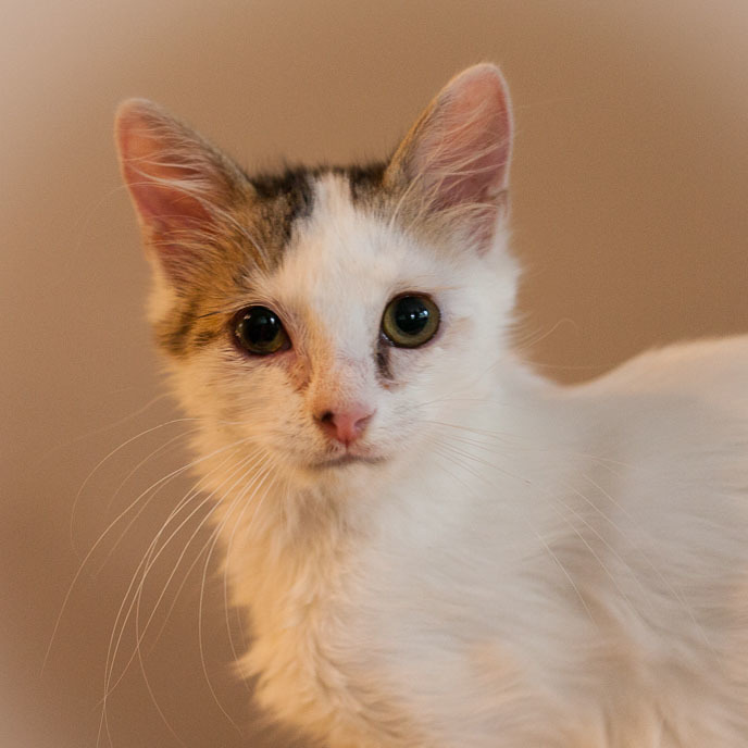 Calpurna, an adopted Calico & Domestic Medium Hair Mix in Ponte Vedra, FL