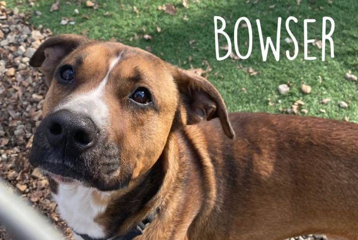 BOWSER, an adoptable Pit Bull Terrier & Boxer Mix in Dallas, PA